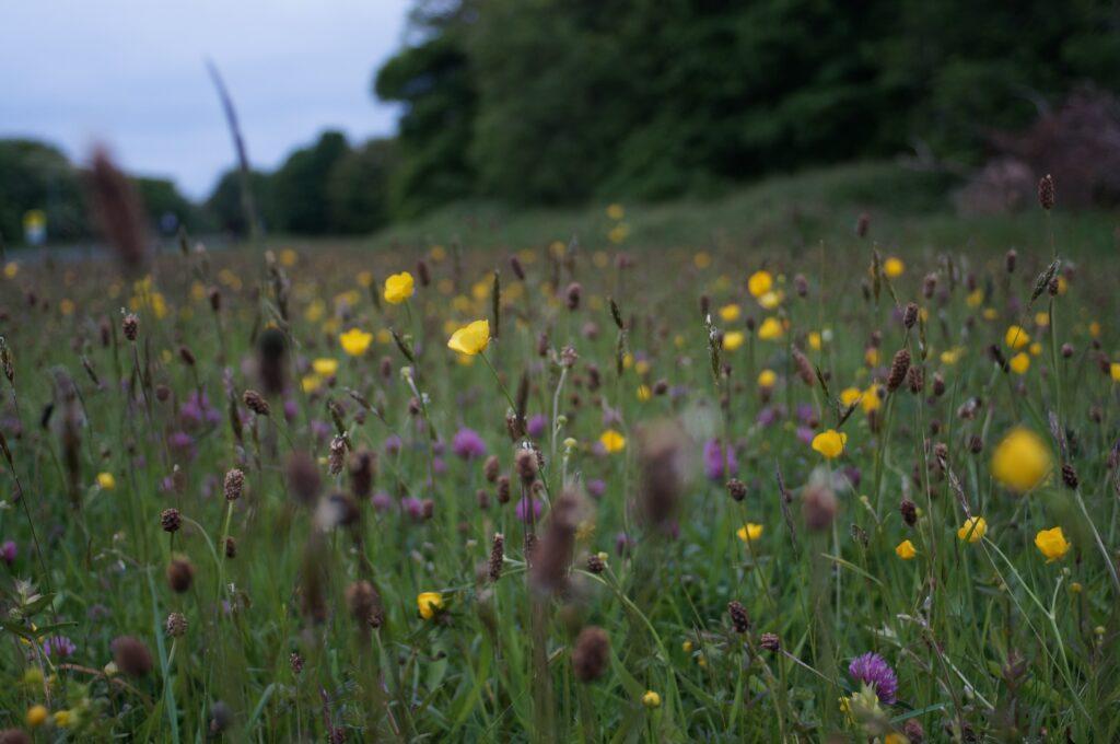 UK Wildflower species